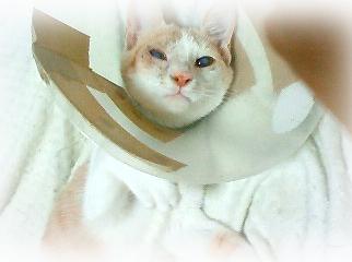 手術後のチャイちゃん