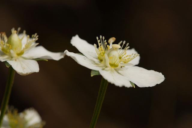 ウメバチ草2