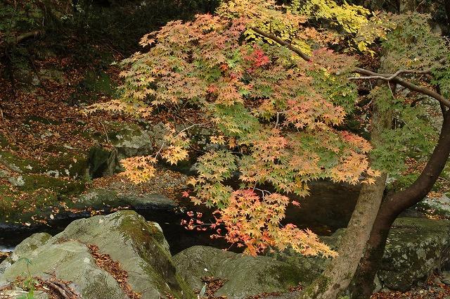 渓谷の紅葉5