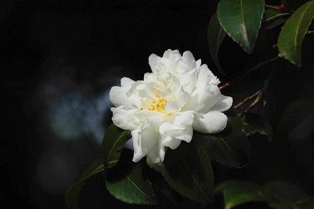 山茶花(白)