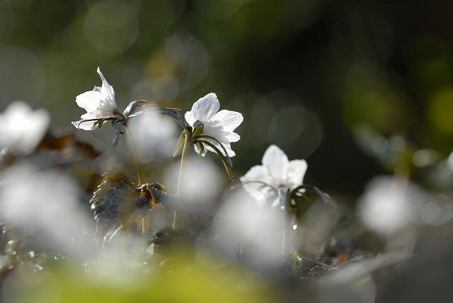 河合の節分草6