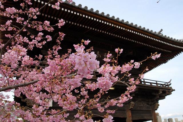 妙林寺の河津桜2