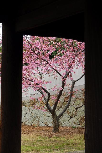 妙林寺の河津桜10