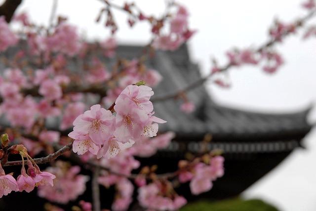 妙林寺の河津桜20