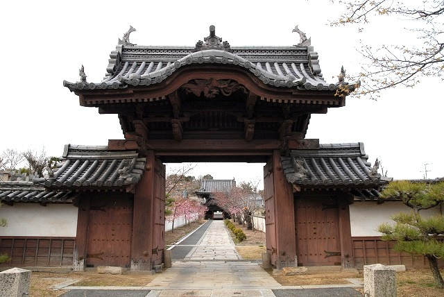妙林寺の河津桜23