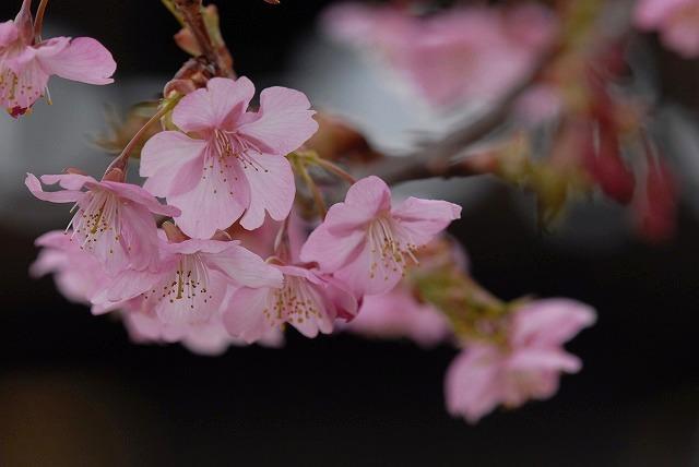 妙林寺の河津桜29