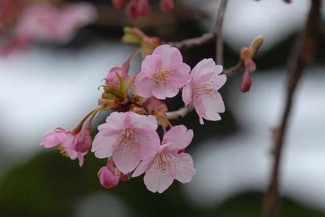 妙林寺の河津桜30