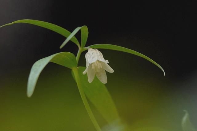 ホソバナコバイモ1