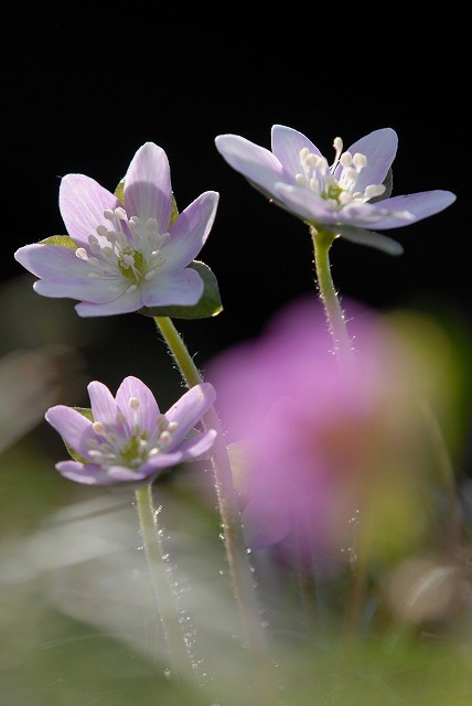 ユキワリ草4