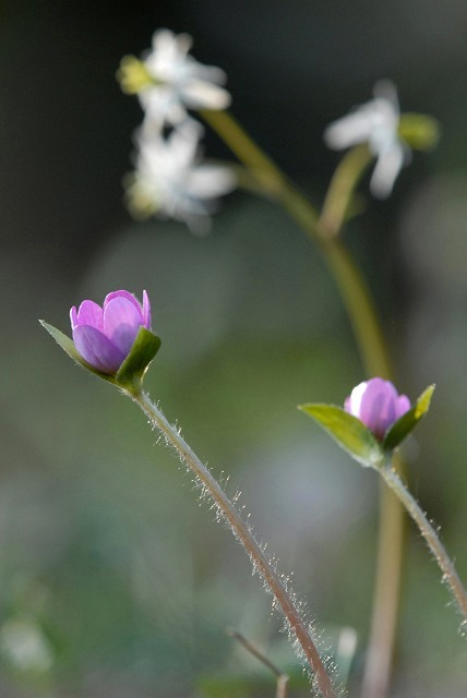 ユキワリ草とセリバオウレン