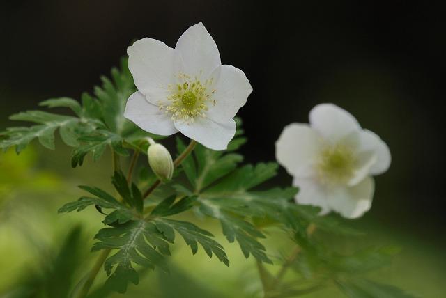 イチリン草1