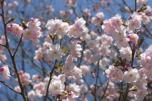八重の桜2