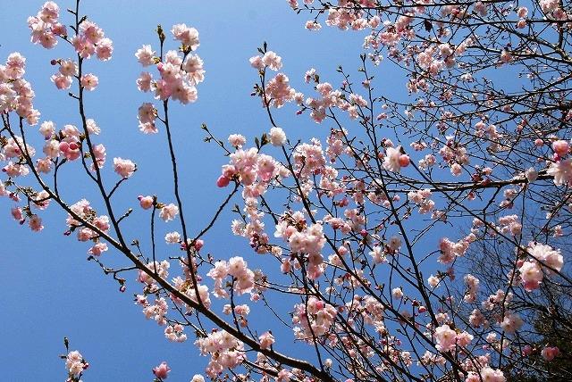 八重の桜1
