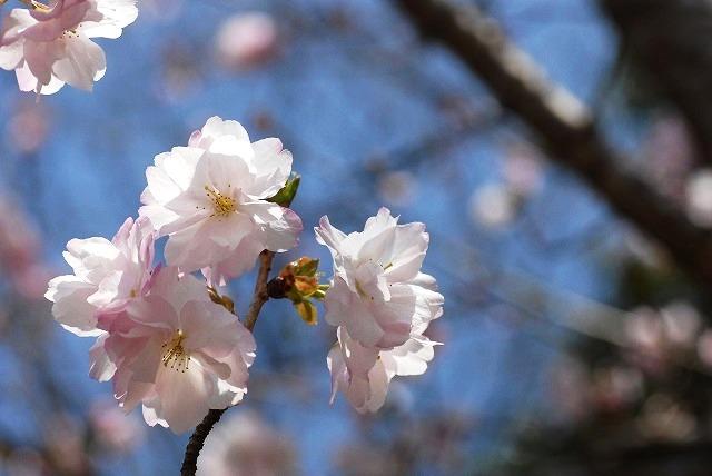 八重の桜3