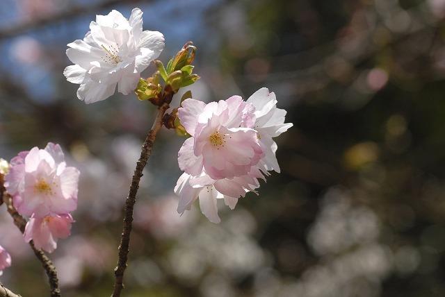 八重の桜4