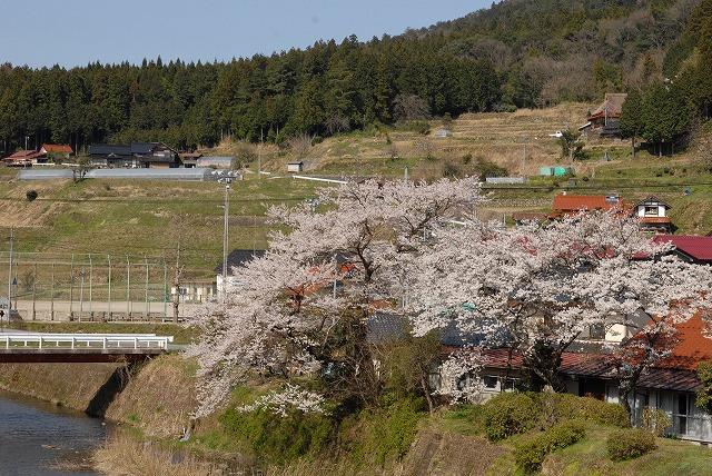 濁川の桜2