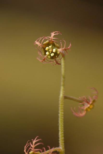 チャルメル草2