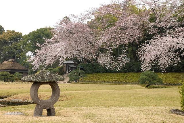 後楽園の桜1-3