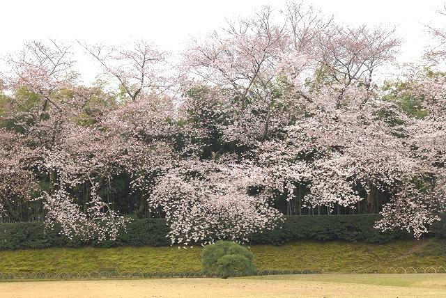 後楽園の桜1-5