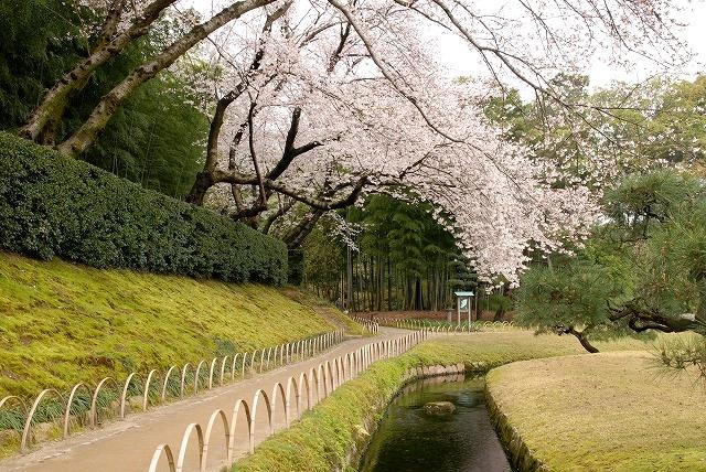 後楽園の桜1-6