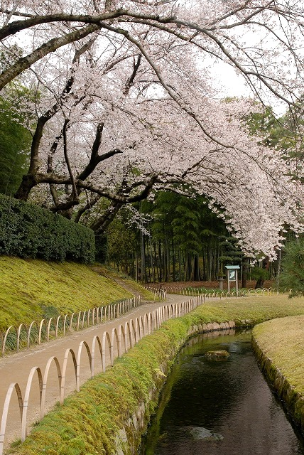 後楽園の桜1-7