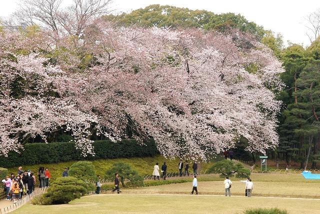 後楽園の桜12