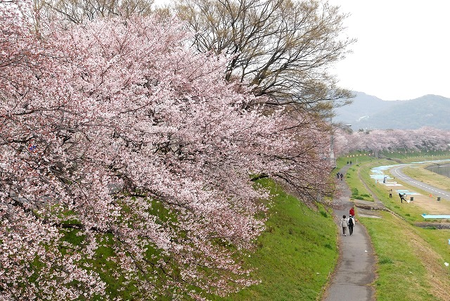 後楽園の桜26