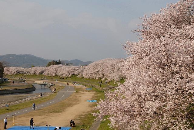 旭川の土手の桜2