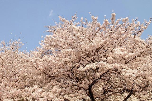 旭川の土手の桜3
