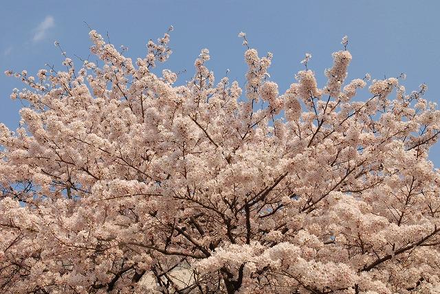 旭川の土手の桜4