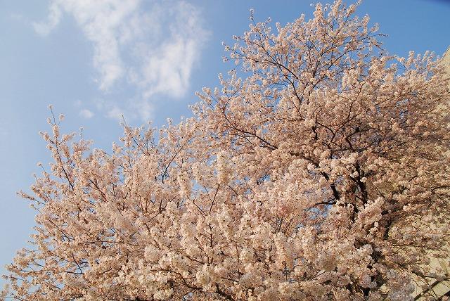 旭川の土手の桜5