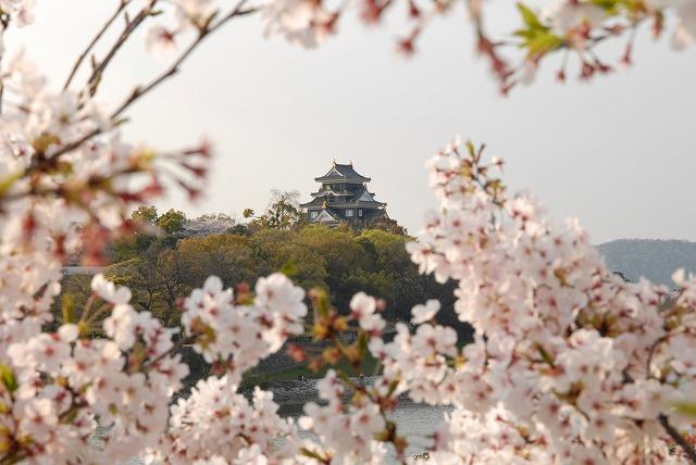 旭川の土手の桜6