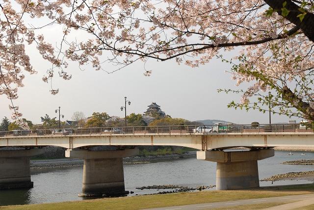 旭川の土手の桜7
