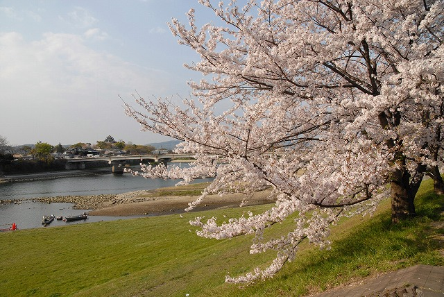 旭川の土手の桜8