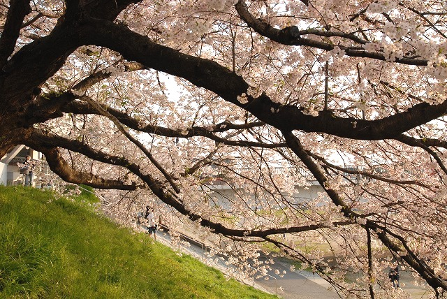 旭川の土手の桜9