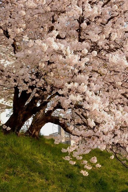 旭川の土手の桜10