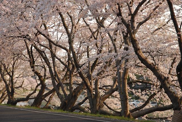 旭川の土手の桜11