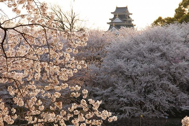 旭川の土手の桜12