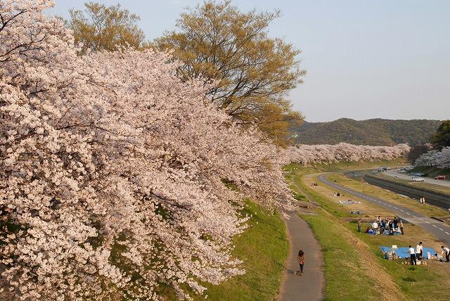 旭川の土手の桜13