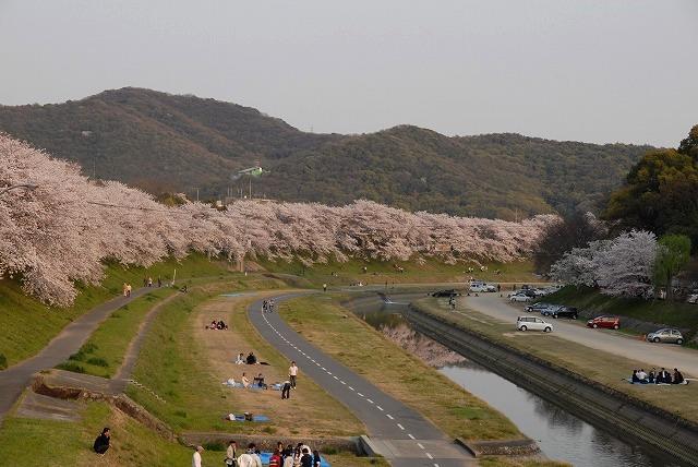 旭川の土手の桜14