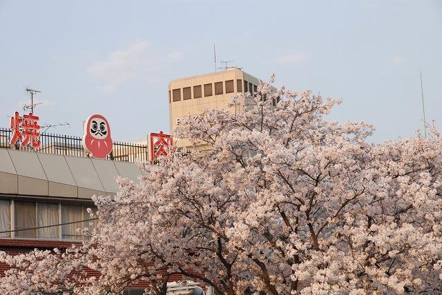 旭川の土手の桜15