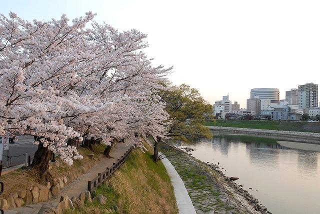 旭川の土手の桜16