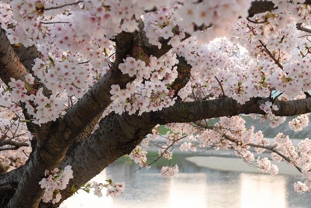 旭川の土手の桜17