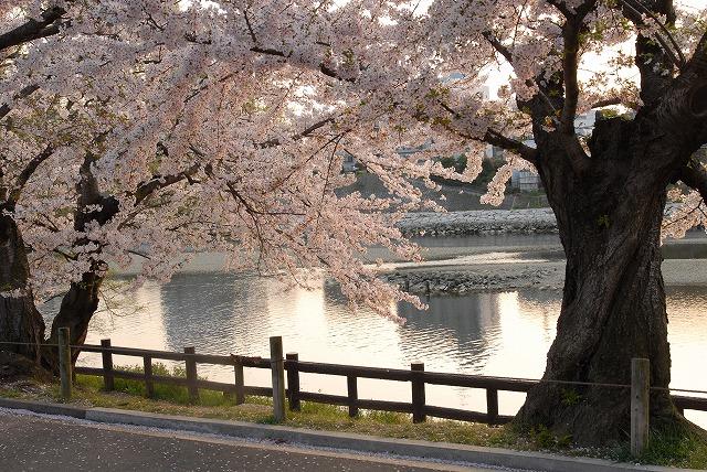 旭川の土手の桜18