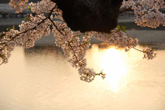 旭川の土手の桜19