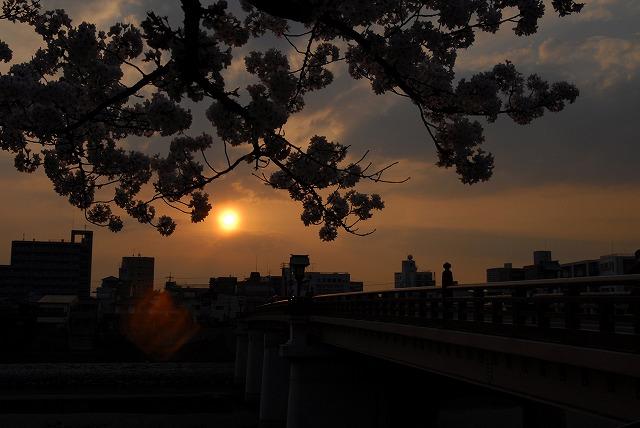 旭川の土手の桜21