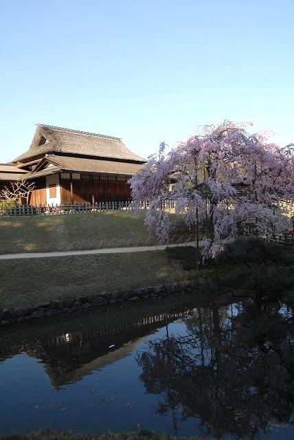 枝垂れ桜15