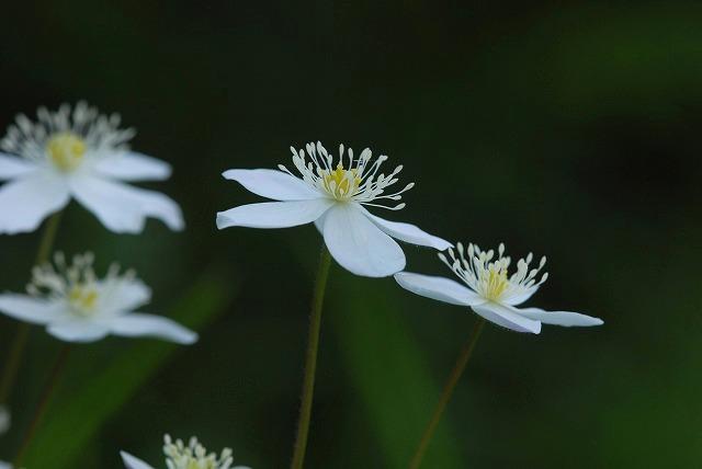 ニリン草2