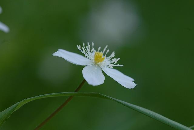 ニリン草4