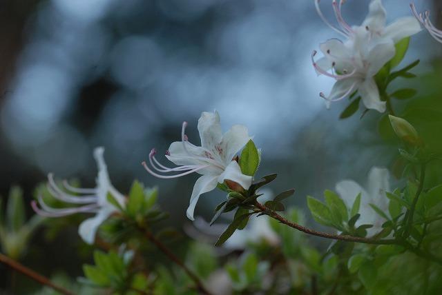 コゴメ桜1